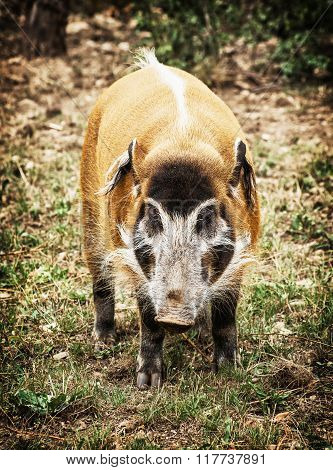Red River Hog (potamochoerus Porcus), Animal Scene