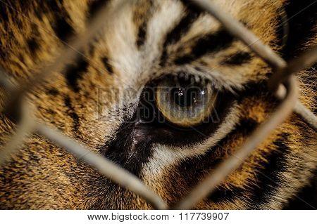 Close Up Tiger Eye Through Cage