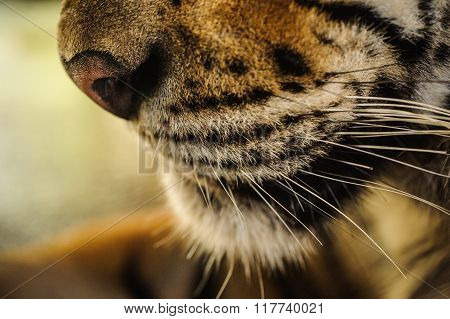 Close-up On A Tiger Face