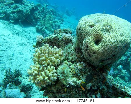 Coral Reef With Brain Coral In Tropical Sea At Great Depths, Underwater