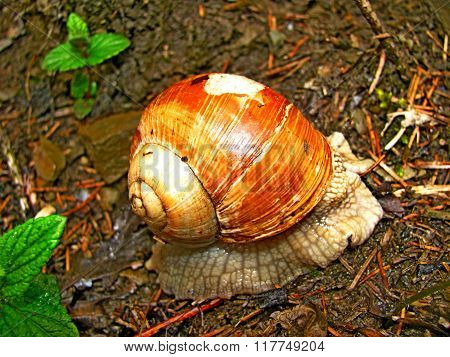 Brown snail spring forest.
