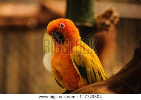 Beautiful Orange Parrot ,sun Conure