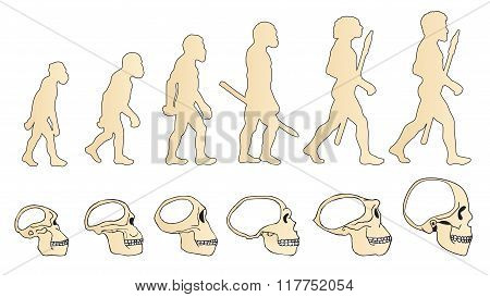 Human Evolution Of The Skull. Historical Illustrations. Isolated Vector. Human Evolution Definition. Human Evolution Theory. Human Evolution Facts. Human Evolution Poster. Human Evolution Evidence.