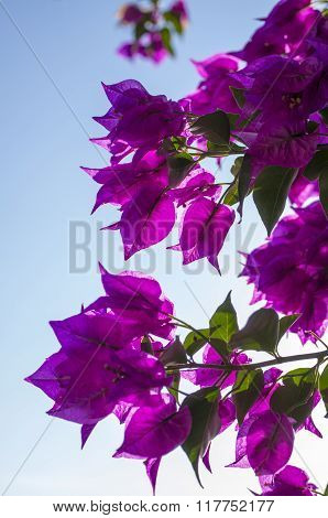 Bougainvillea Flowers In Bright Purple And Green