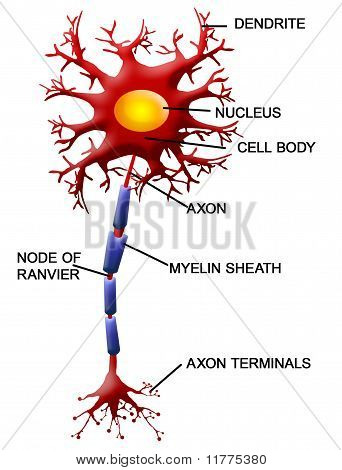 Neuron Zelle