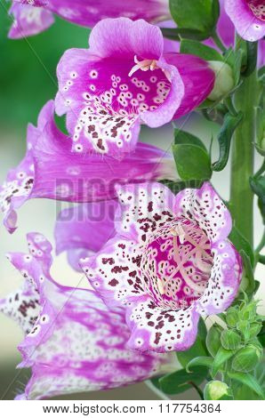 Purple Foxglove Macro In Full Bloom