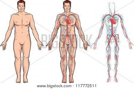 White Background Vector Illustration Of A Circulatory System