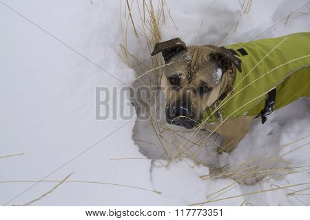 Cute dog wearing his winter coat in the snow.