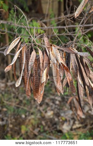 dry acacia tree in garden