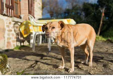 Old brown cross-breed dog outdoor