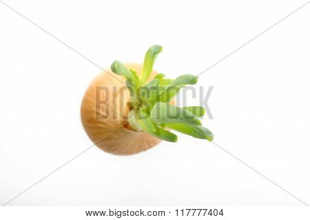 Germinated Onion On White Background