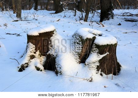 wooden stump in forest at winter time