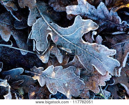 abstract natural background with frozen oak leafage