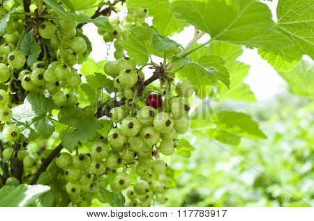 Red Currant On A Bush.