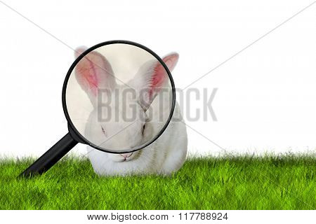 Easter Bunny searching for chocolate Easter eggs on grass on white background