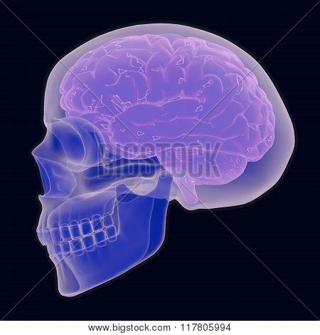 Human Skull And Brain
