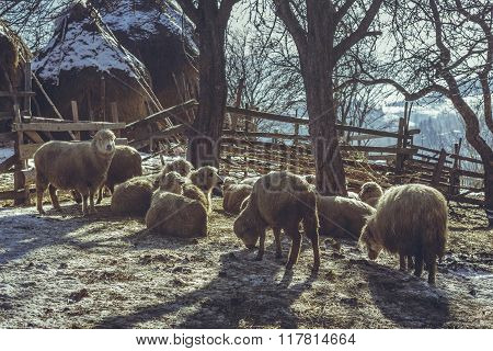 Sheep Resting In A Fold