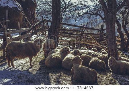 Sheep In Enclosure