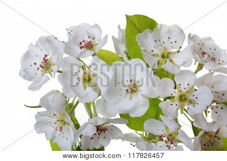 Branch with blossoms isolated on white