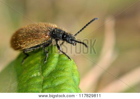 Lagria hirta beetle