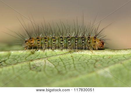White ermine (Spilosoma lubricipeda) early instar caterpillar