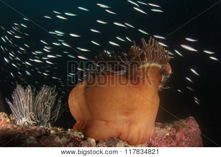 Sea Anemone and fish at night