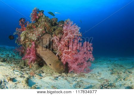 Giant Moray Eel in coral reef underwater