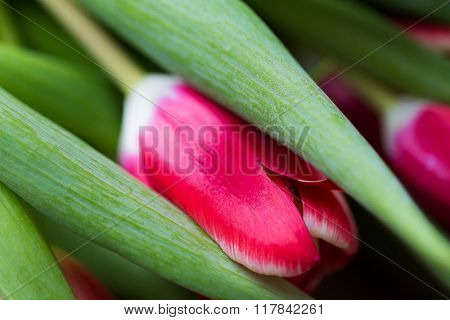 flora, gardening and plant concept - close up of tulip flowers