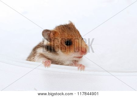 Baby Brown Black Hamster Peep