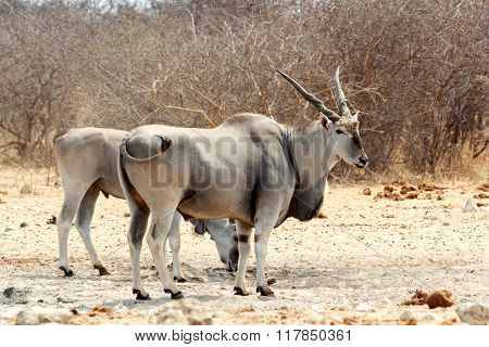 Eland On Waterhole