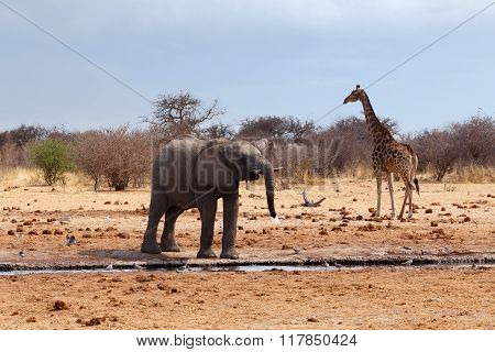 Elephant In Front Of Waterhole