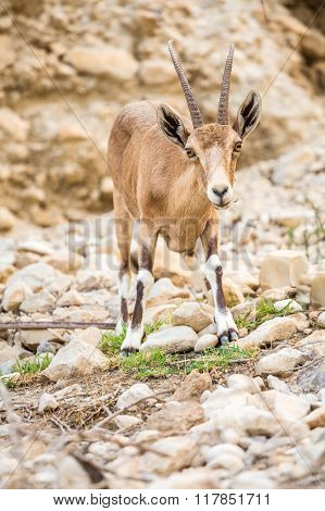 Young Wild Goat (capra) In Middle East