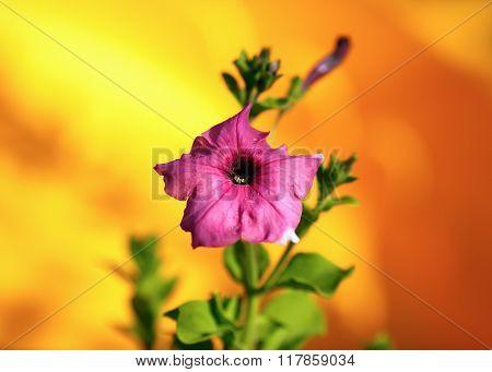 Fading Hollyhock Flower