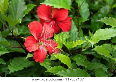 Red Hibiscus In Green Leaves