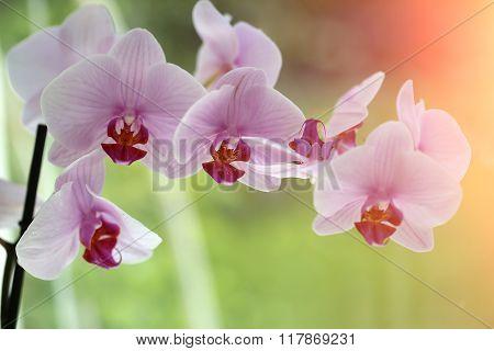 Fresh Pretty Orchidea