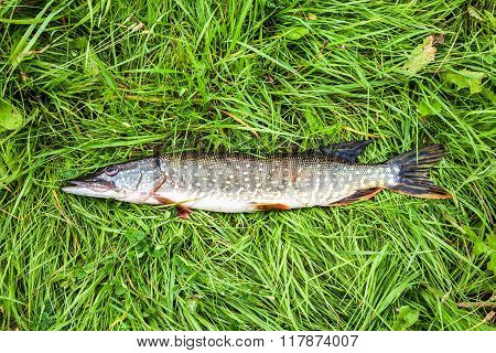 Fisherman Trophy. Freshwater Fish Pike Lying On The Green Grass