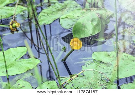 Yellow Water Lily In Water