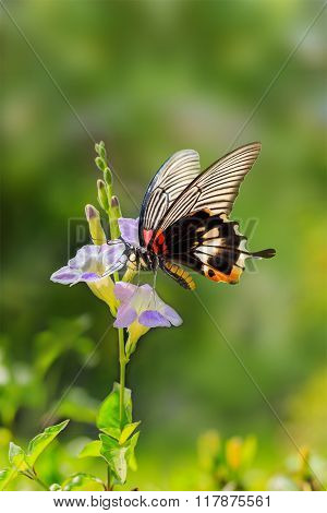 Butterfly Resting On Chinese Violet Flower