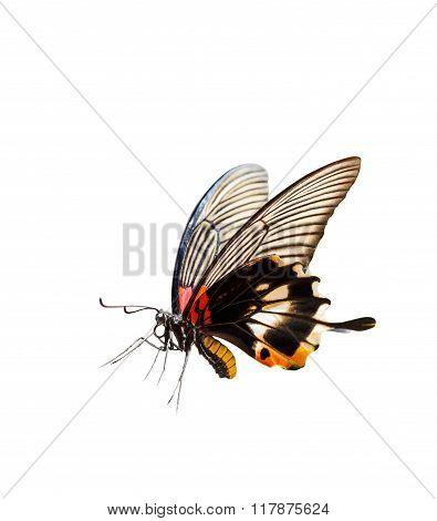 Isolated Female Yellow Body Great Mormon Butterfly