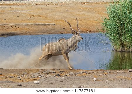 Grand Kudu At Etosha