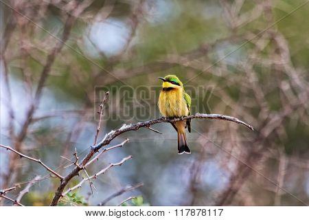 Little Bee Eater At Kruger National Park