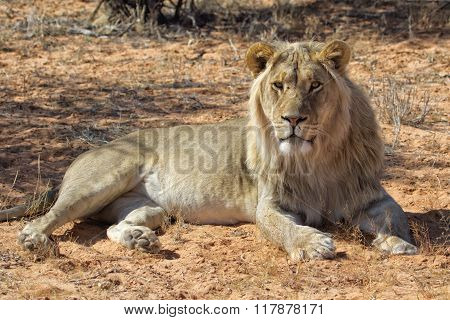 Male Lion At Kgalagadi