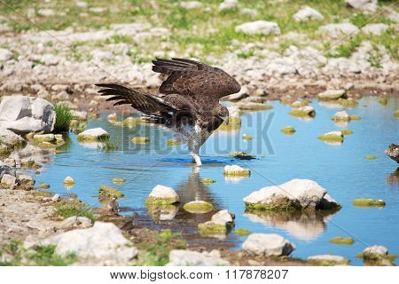 Martial Eagle In A Waterhole