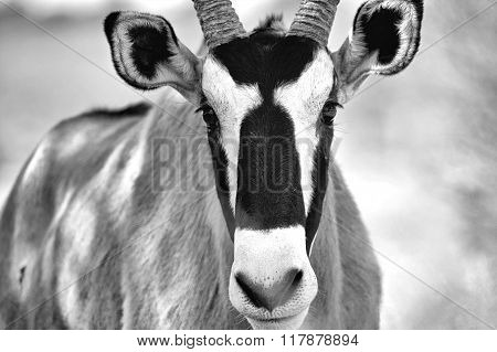 Portrait Of An Oryx