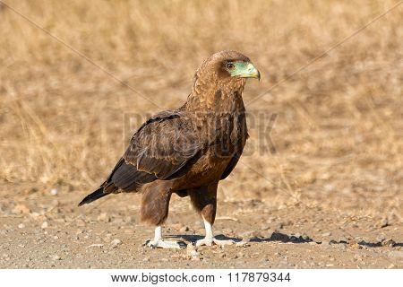Tawny Eagle Kruger National Park