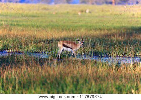 Thomson's Gazelle Crossing A Swamp At Nakuru