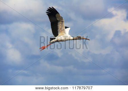 Wood Stork Flying Everglades