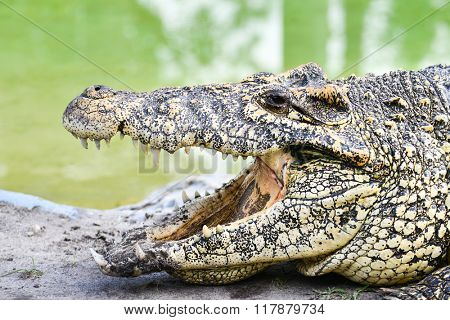 Nile Crocodile head shot