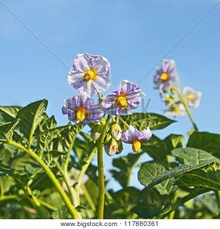 Potato Flowers Against Blue Sky