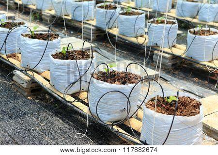 Nursery Water Melon Plant On Green House